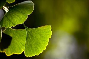 Close-up of Ginkgo leaves back lit
